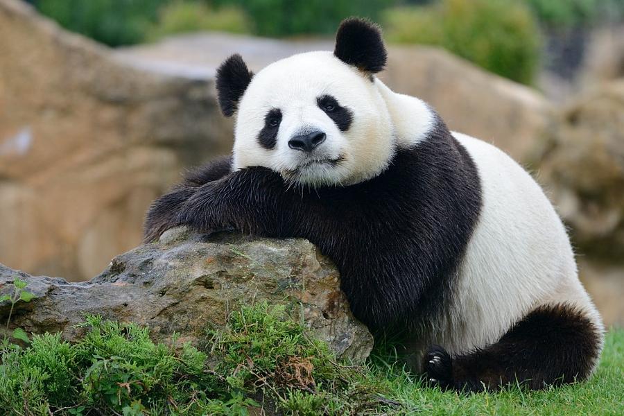 Картинки с изображением панды, умные слова