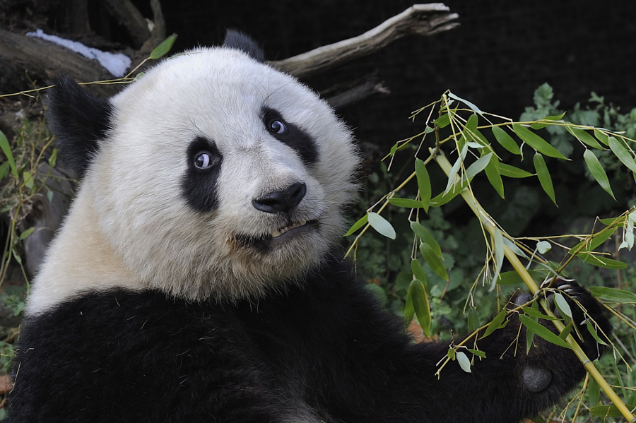 Открытка, панда прикол картинка