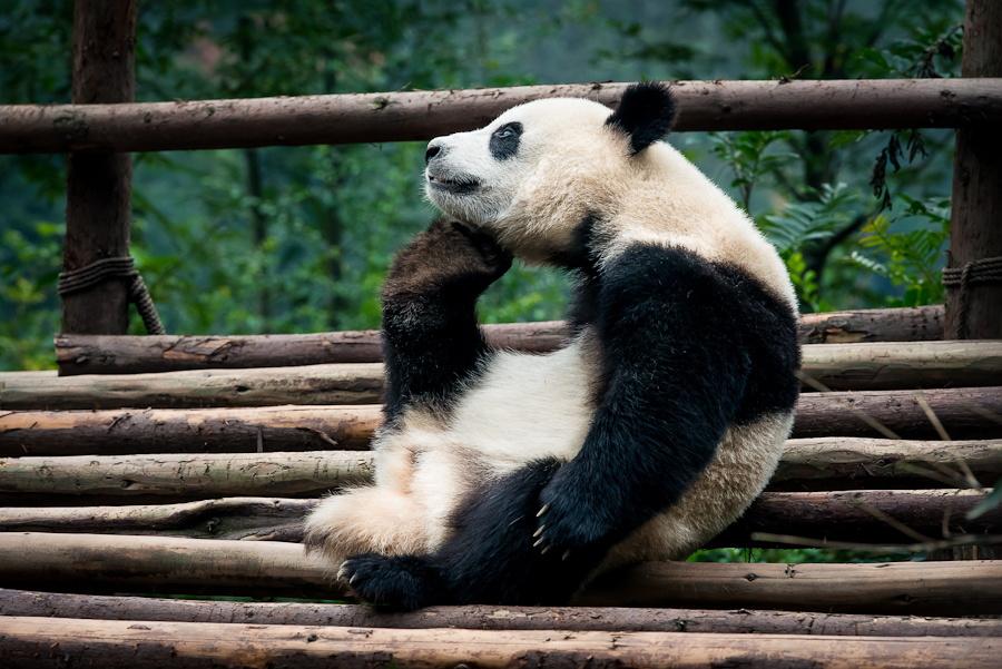 Скучающие, задумчивые и забавные панды - 50 очаровательных фотографий