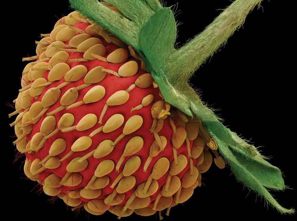 строгих фрукты под микроскопом фото парка небольшая включает