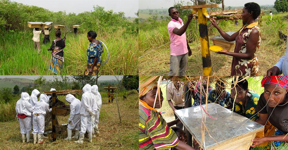 pchely zaschischayut fermerskie hozyaystva ot slonov v Afrike 4