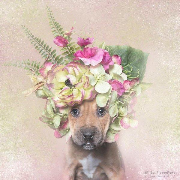 Питбули в цветочных коронах. Софи Граманд ломает стереотипы