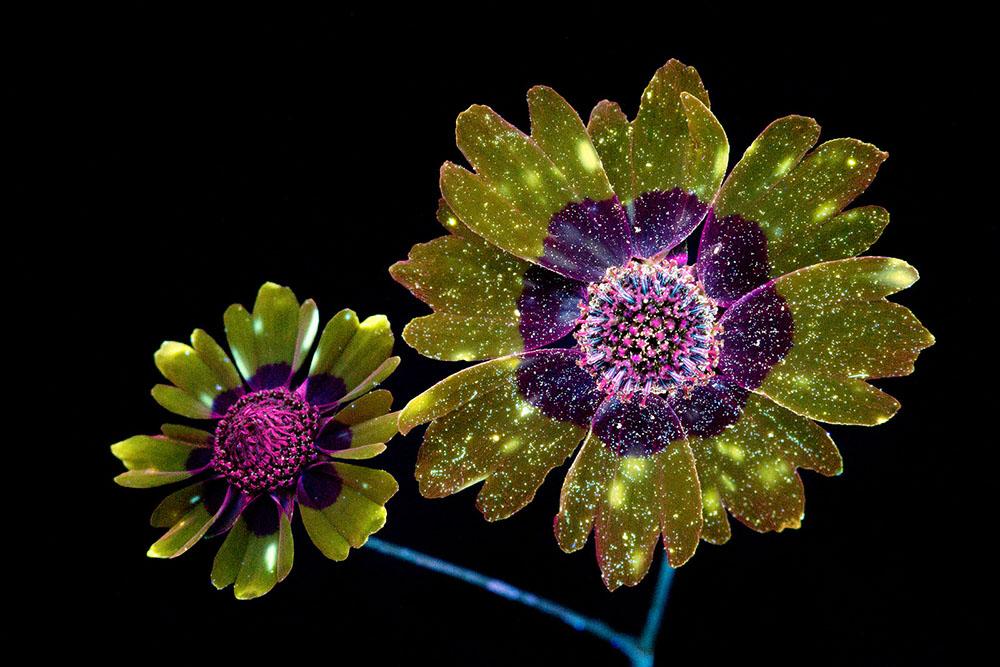 Ослепительные фотографии цветов, освещённых ультрафиолетом, вызывающим их флуоресценцию 1