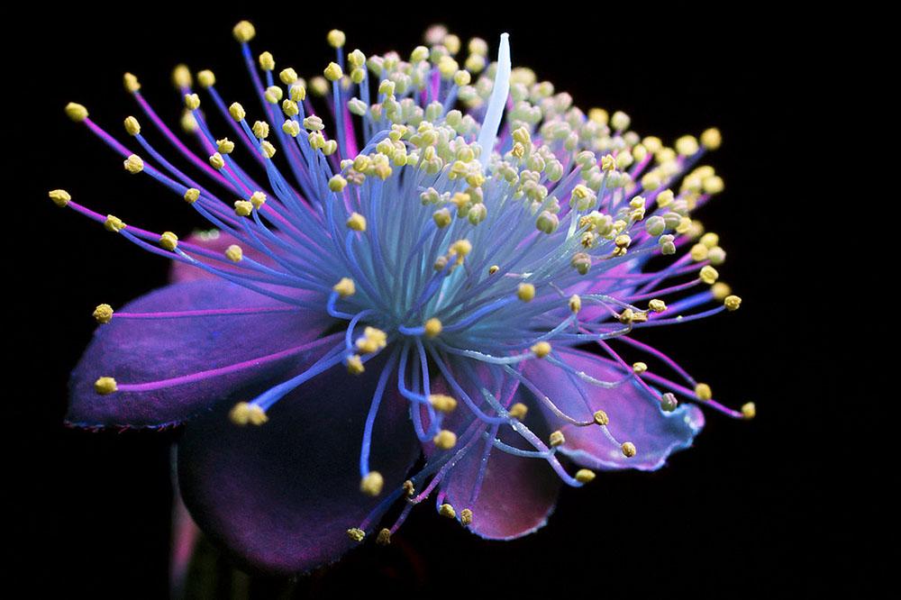 Ослепительные фотографии цветов, освещённых ультрафиолетом, вызывающим их флуоресценцию 2