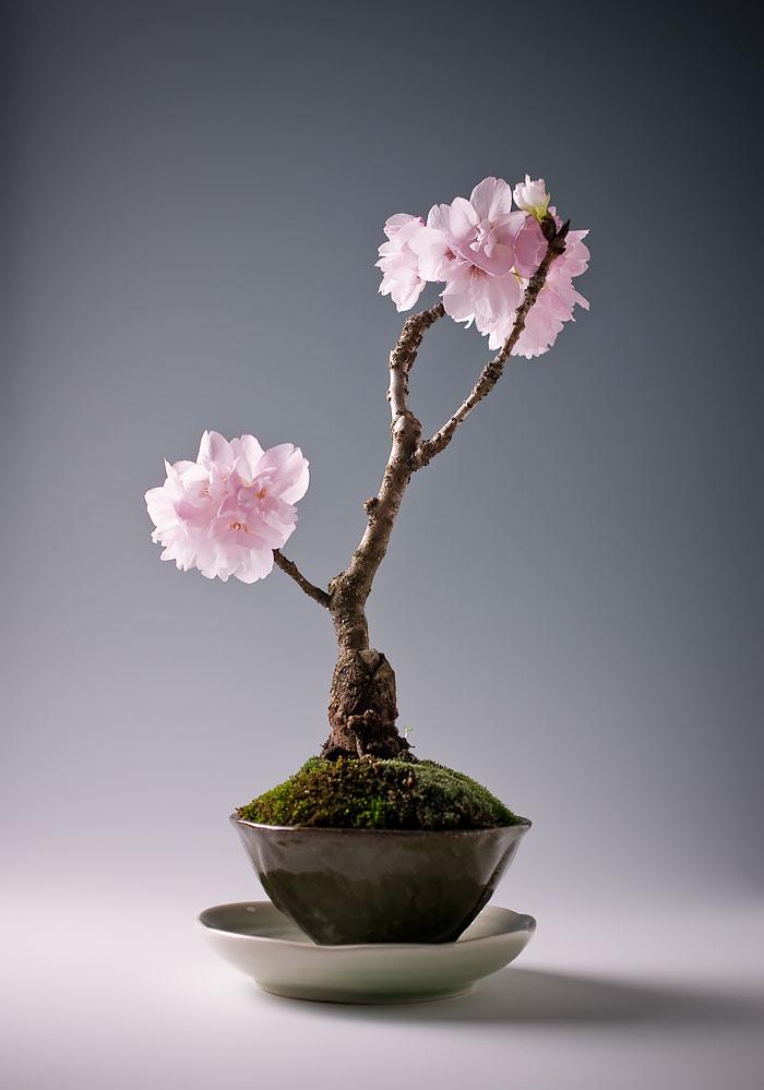 iskusstvo bonsay foto 14