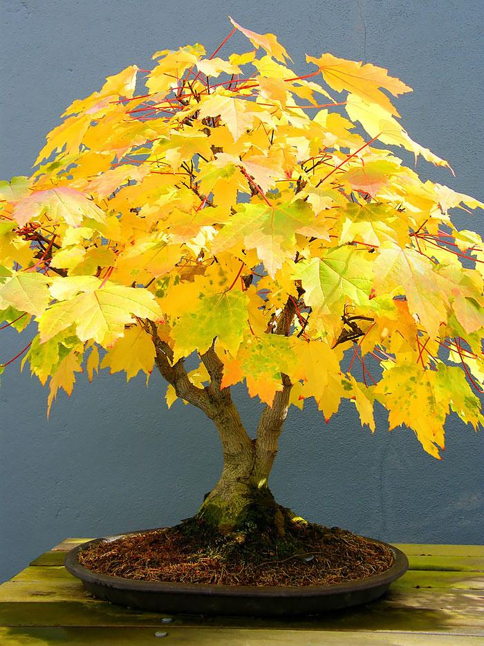 iskusstvo bonsay foto 18