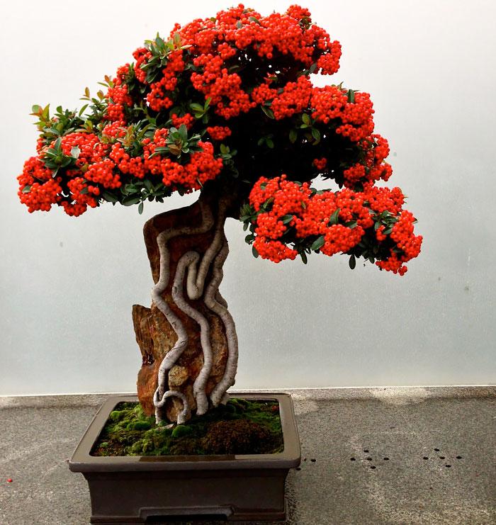 iskusstvo bonsay foto 20