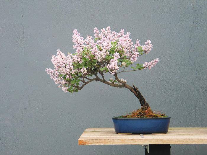 iskusstvo bonsay foto 23