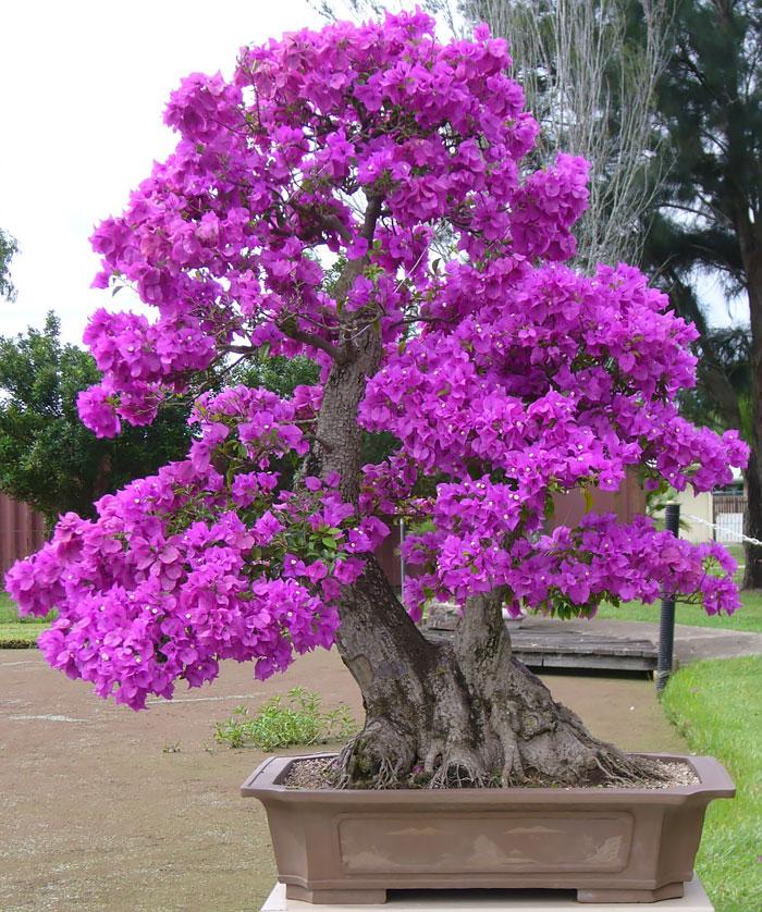 iskusstvo bonsay foto 24