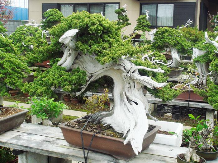 iskusstvo bonsay foto 25