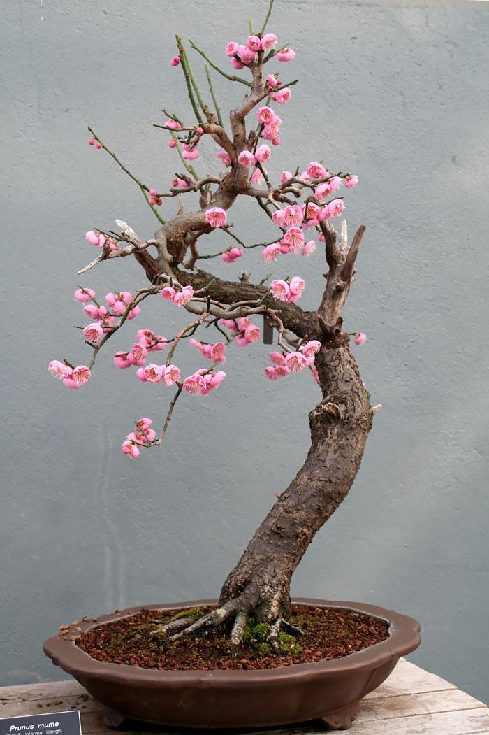 iskusstvo bonsay foto 27