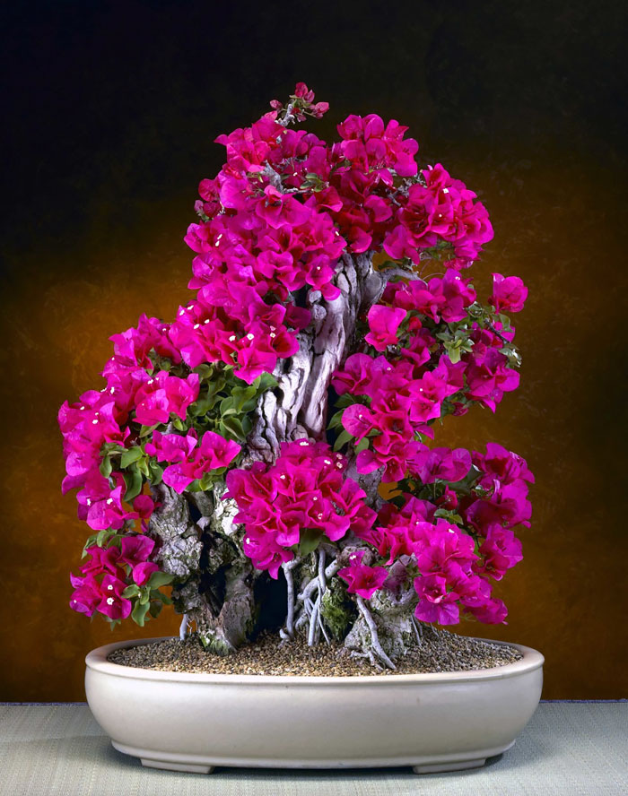 iskusstvo bonsay foto 28