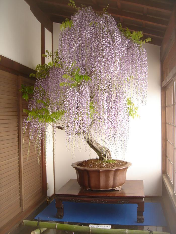 iskusstvo bonsay foto 3