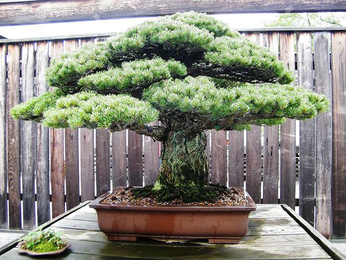 iskusstvo bonsay foto 4
