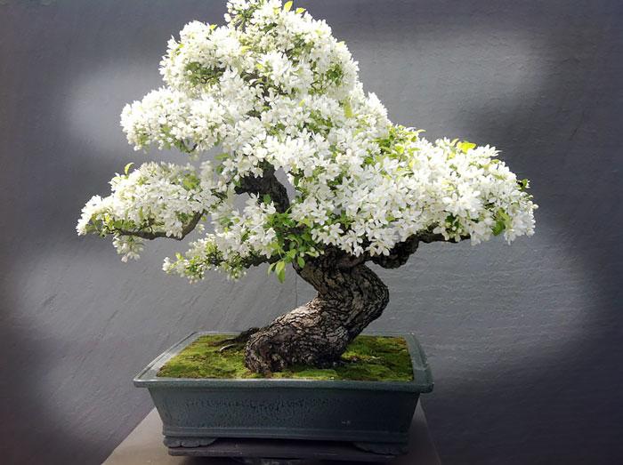 iskusstvo bonsay foto 6