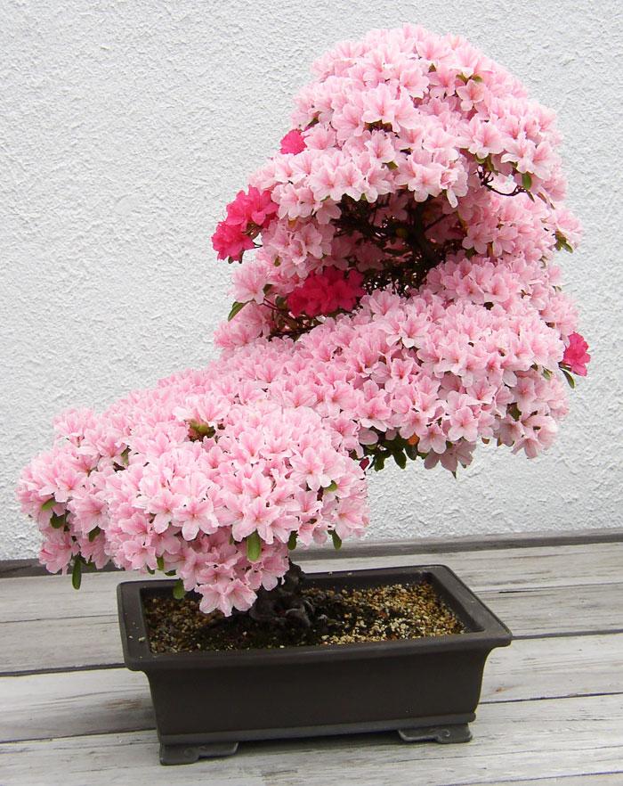iskusstvo bonsay foto 7