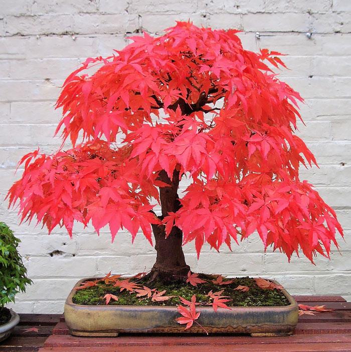 iskusstvo bonsay foto 8