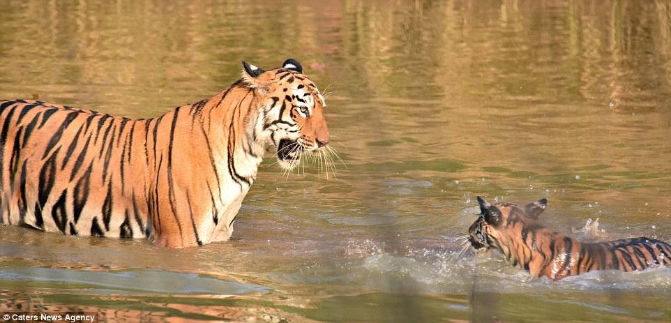 tigritsa kupaet tigrenka foto 2