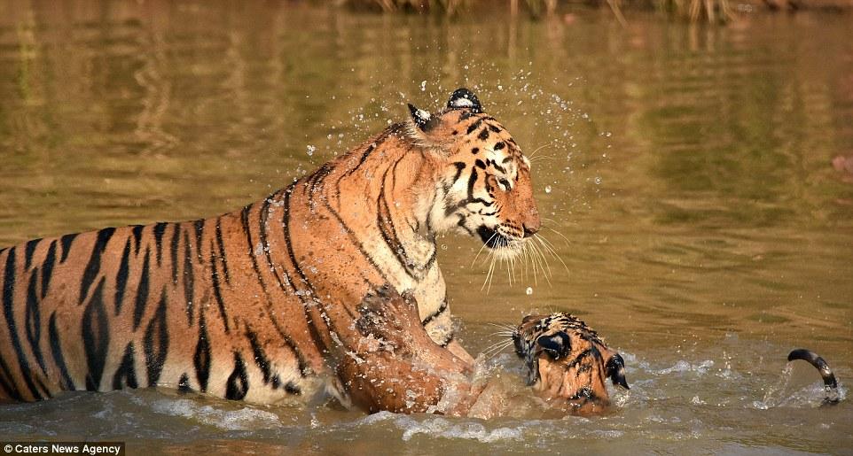 tigritsa kupaet tigrenka foto 3