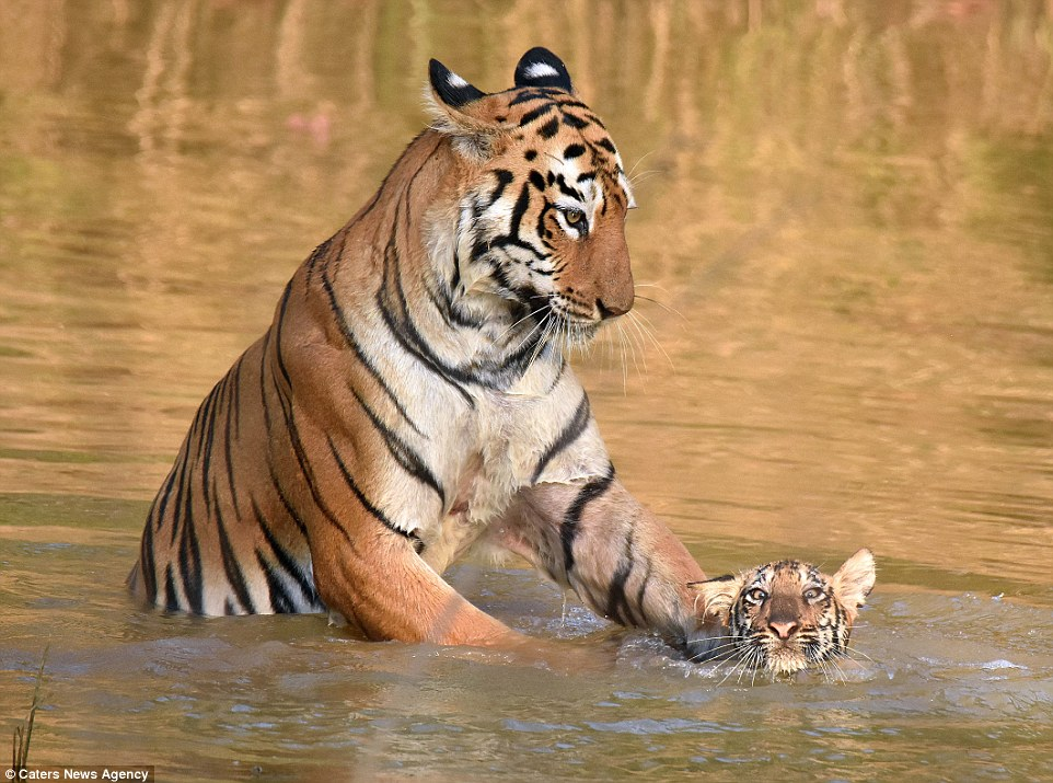 tigritsa kupaet tigrenka foto 4