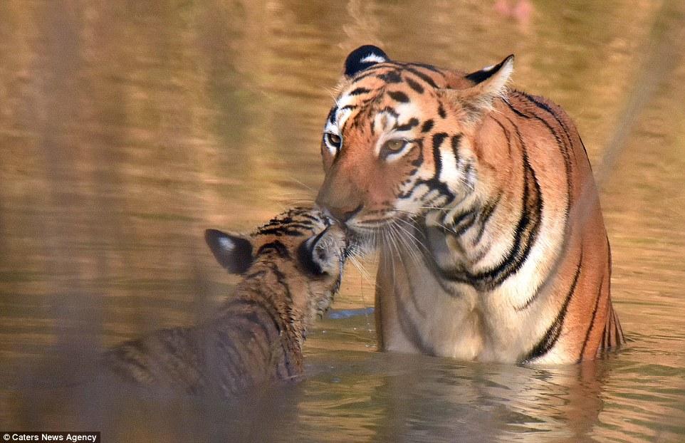 tigritsa kupaet tigrenka foto 9