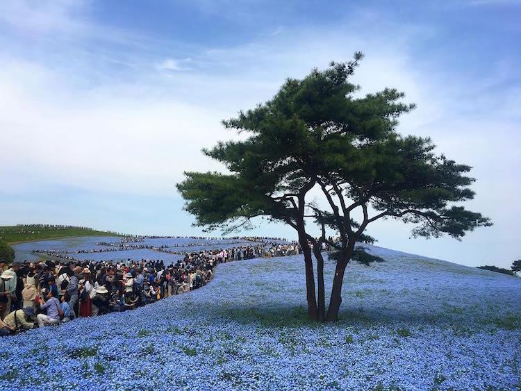 В японском парке расцвели немофилы 3