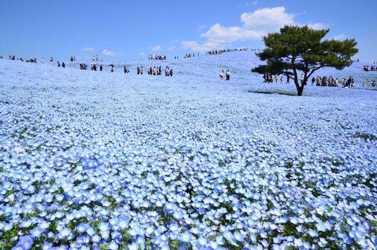 В японском парке расцвели немофилы 4