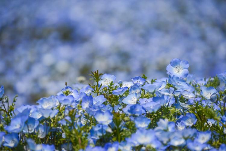 В японском парке расцвели немофилы 6