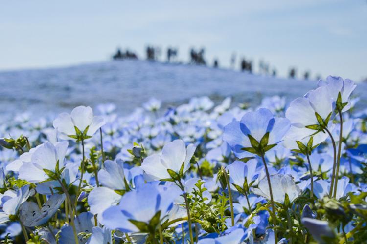 В японском парке расцвели немофилы 7