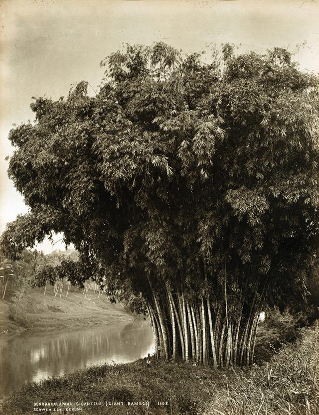 Редчайшие фотографии о повседневной жизни Шри-Ланки в 1880-х годах 9