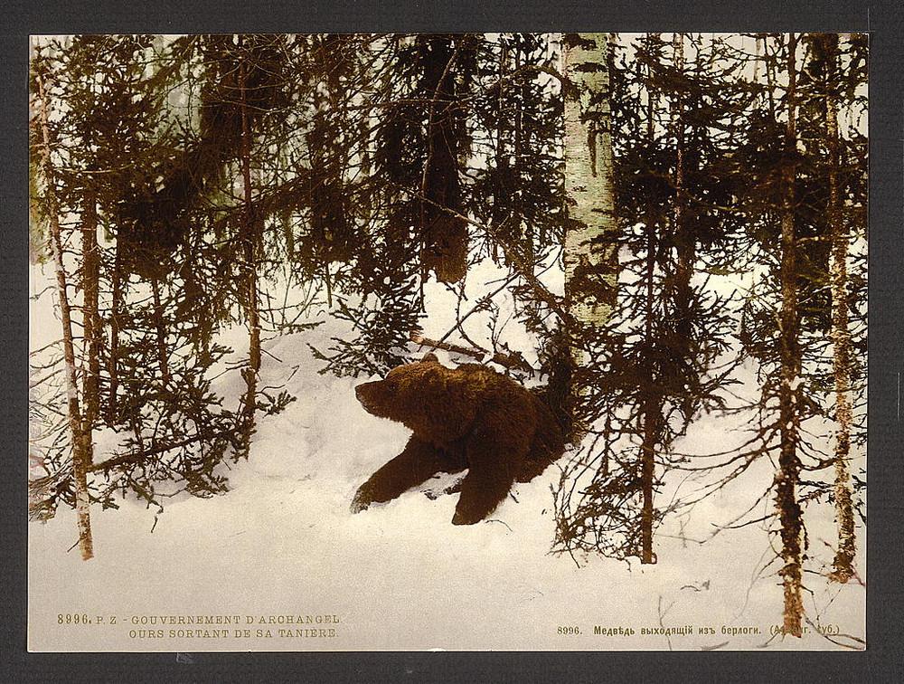 Medved vyhodit iz svoei berlogi