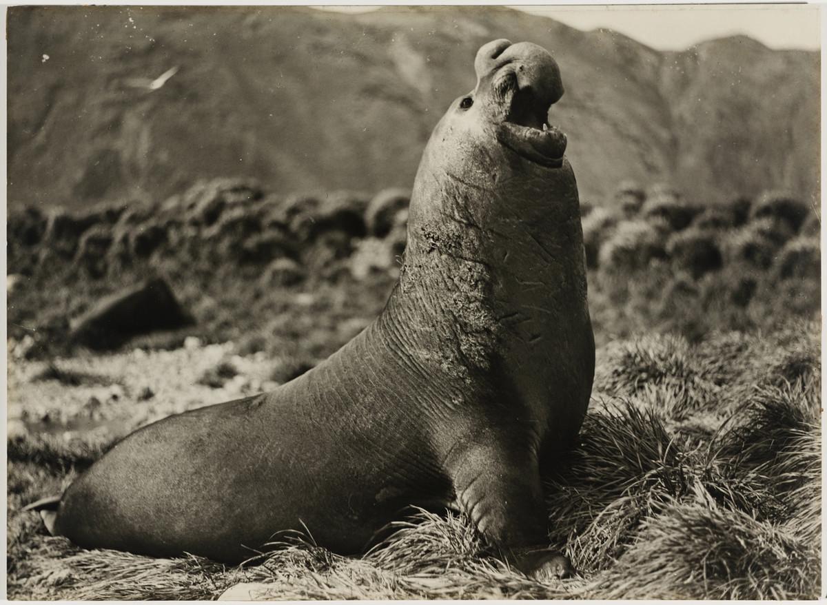Первая Австралийская антарктическая экспедиция в фотографиях Фрэнка Хёрли 1911-1914 34