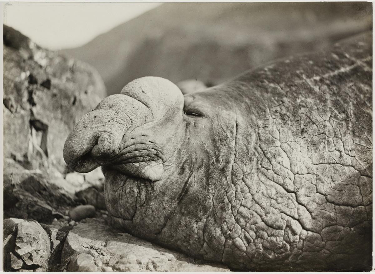 Первая Австралийская антарктическая экспедиция в фотографиях Фрэнка Хёрли 1911-1914 35
