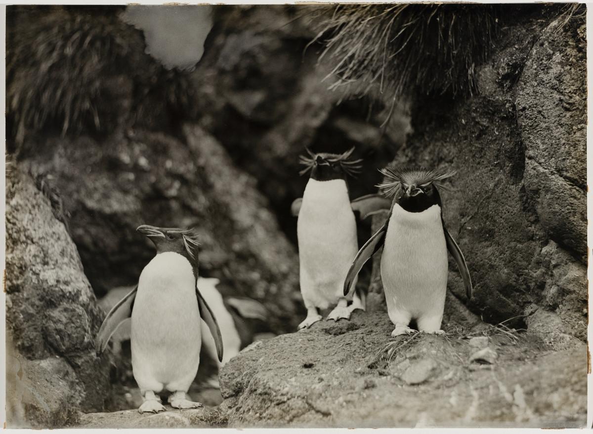 Первая Австралийская антарктическая экспедиция в фотографиях Фрэнка Хёрли 1911-1914 39