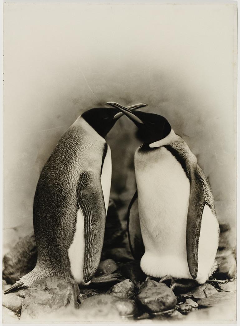 Первая Австралийская антарктическая экспедиция в фотографиях Фрэнка Хёрли 1911-1914 40