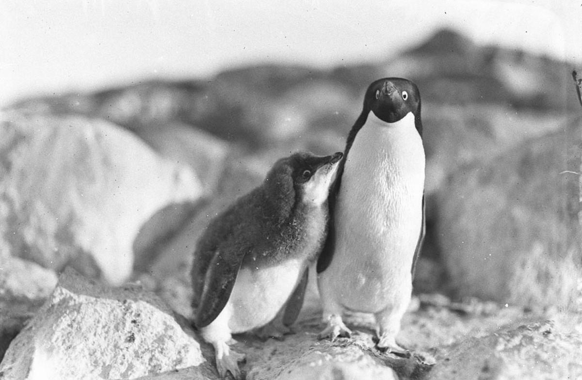 Первая Австралийская антарктическая экспедиция в фотографиях Фрэнка Хёрли 1911-1914 44