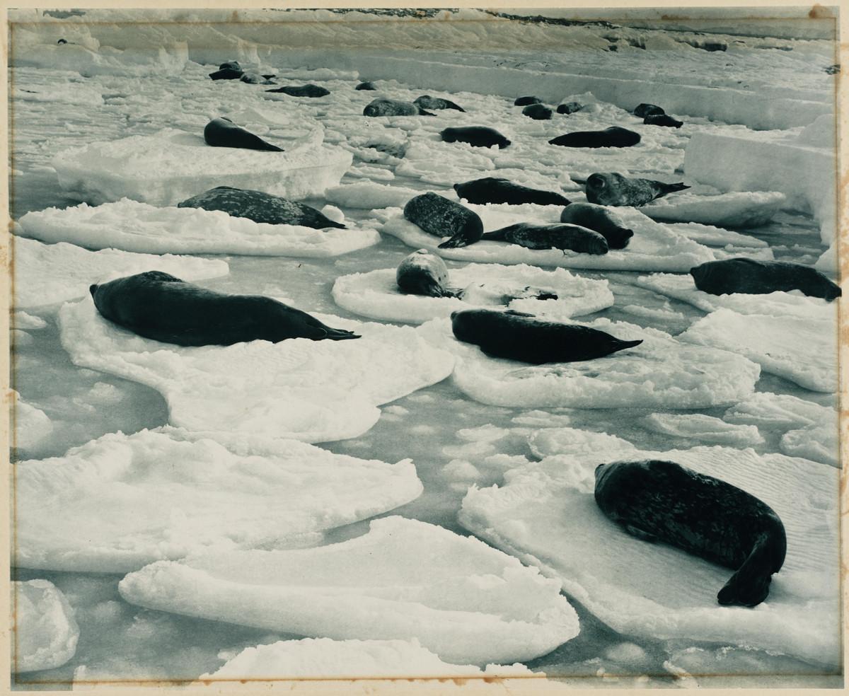 Первая Австралийская антарктическая экспедиция в фотографиях Фрэнка Хёрли 1911-1914 65