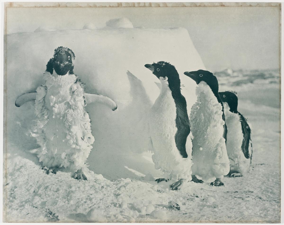Первая Австралийская антарктическая экспедиция в фотографиях Фрэнка Хёрли 1911-1914 8