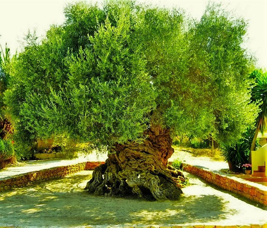 samoe staroe olivkovoe derevo 1