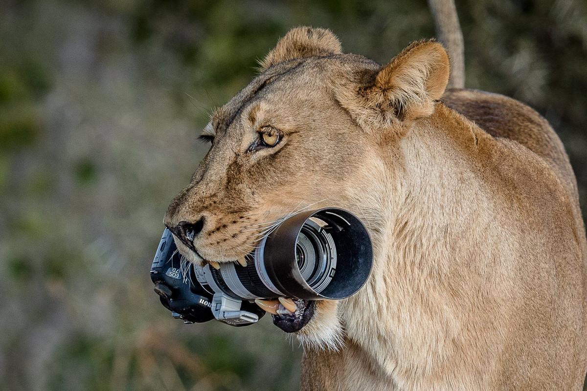 Уникальные кадры с фотоохоты: как львица утащила зеркалку у фотографа 1