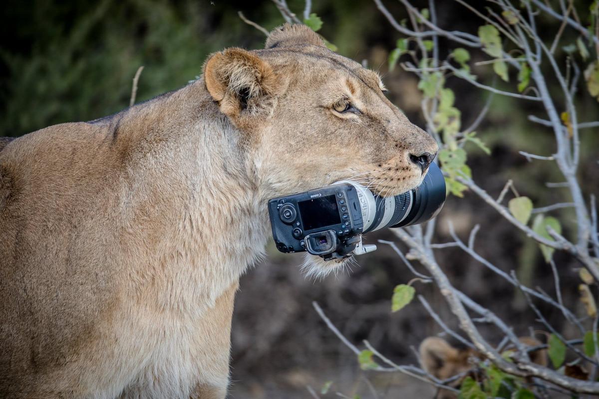 Уникальные кадры с фотоохоты: как львица утащила зеркалку у фотографа 2