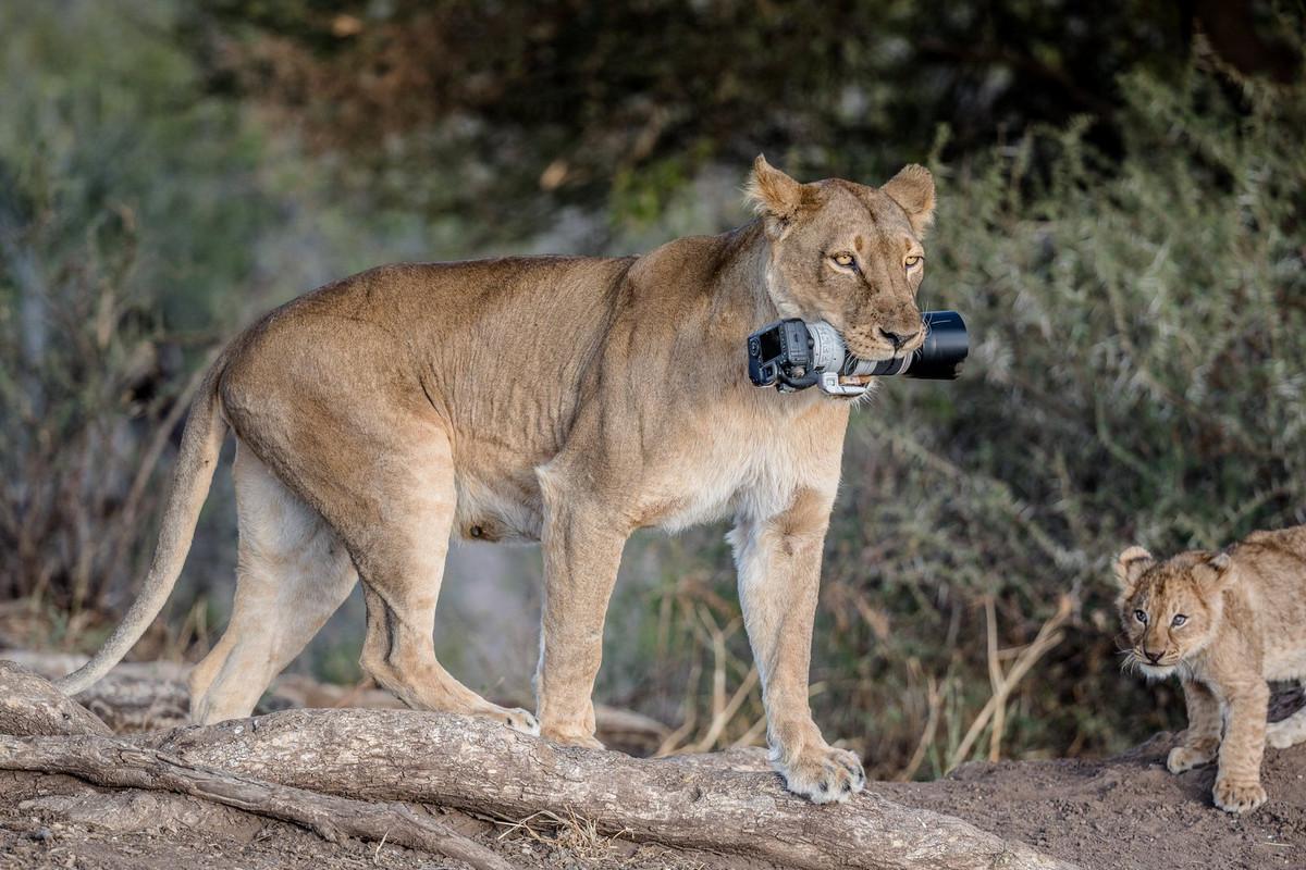 Уникальные кадры с фотоохоты: как львица утащила зеркалку у фотографа 3