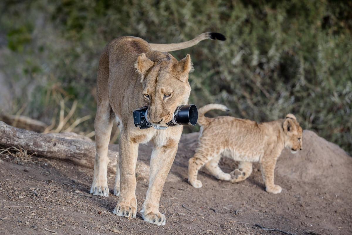 Уникальные кадры с фотоохоты: как львица утащила зеркалку у фотографа 4