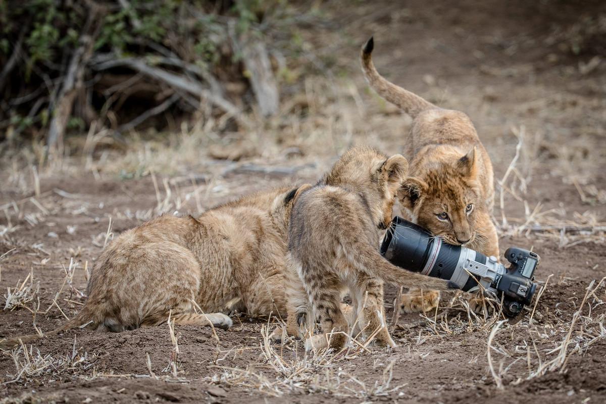 Уникальные кадры с фотоохоты: как львица утащила зеркалку у фотографа 5