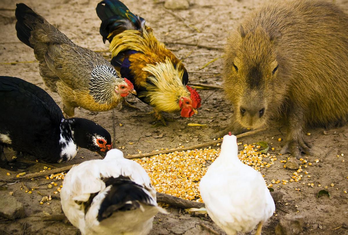 Капибара - Животное, с которым все хотят дружить 10