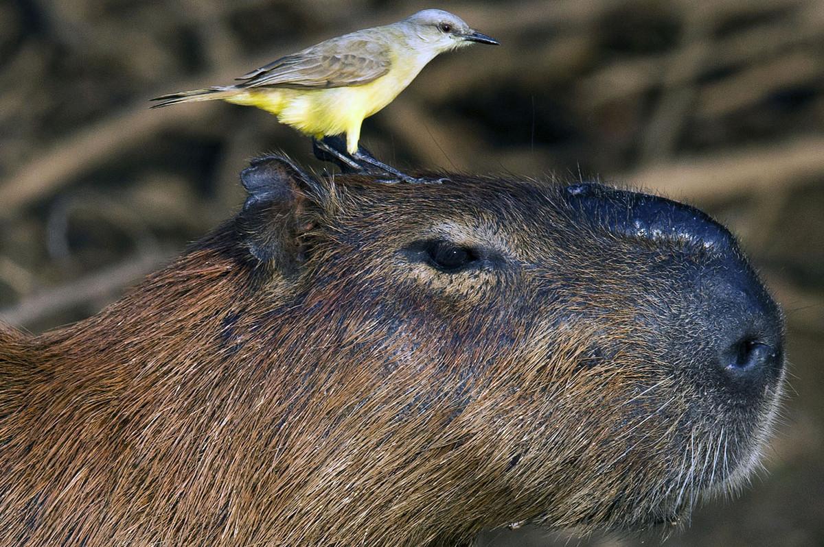 Капибара - Животное, с которым все хотят дружить 11