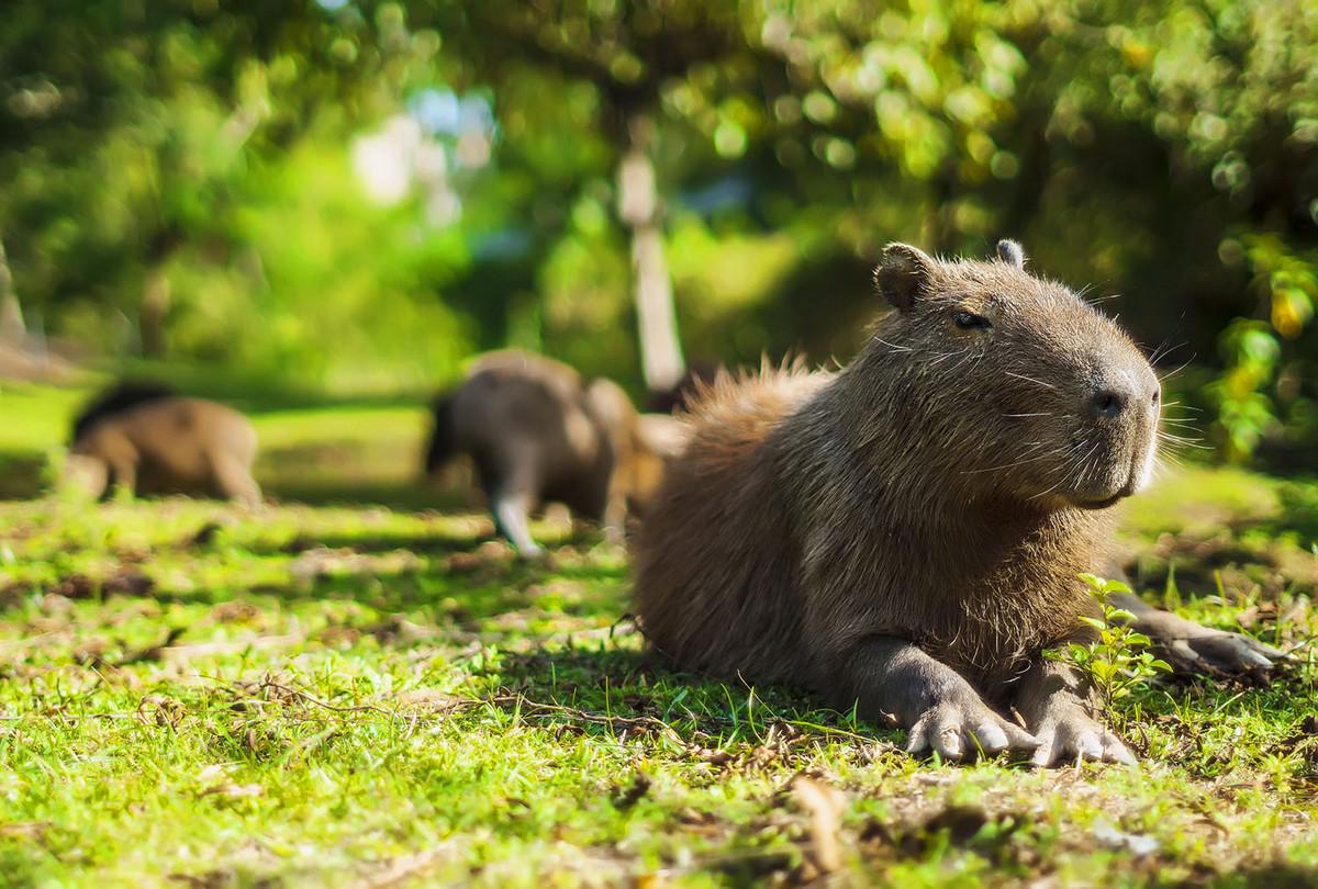 Капибара - Животное, с которым все хотят дружить 16