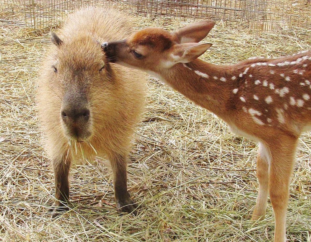 Капибара - Животное, с которым все хотят дружить 17