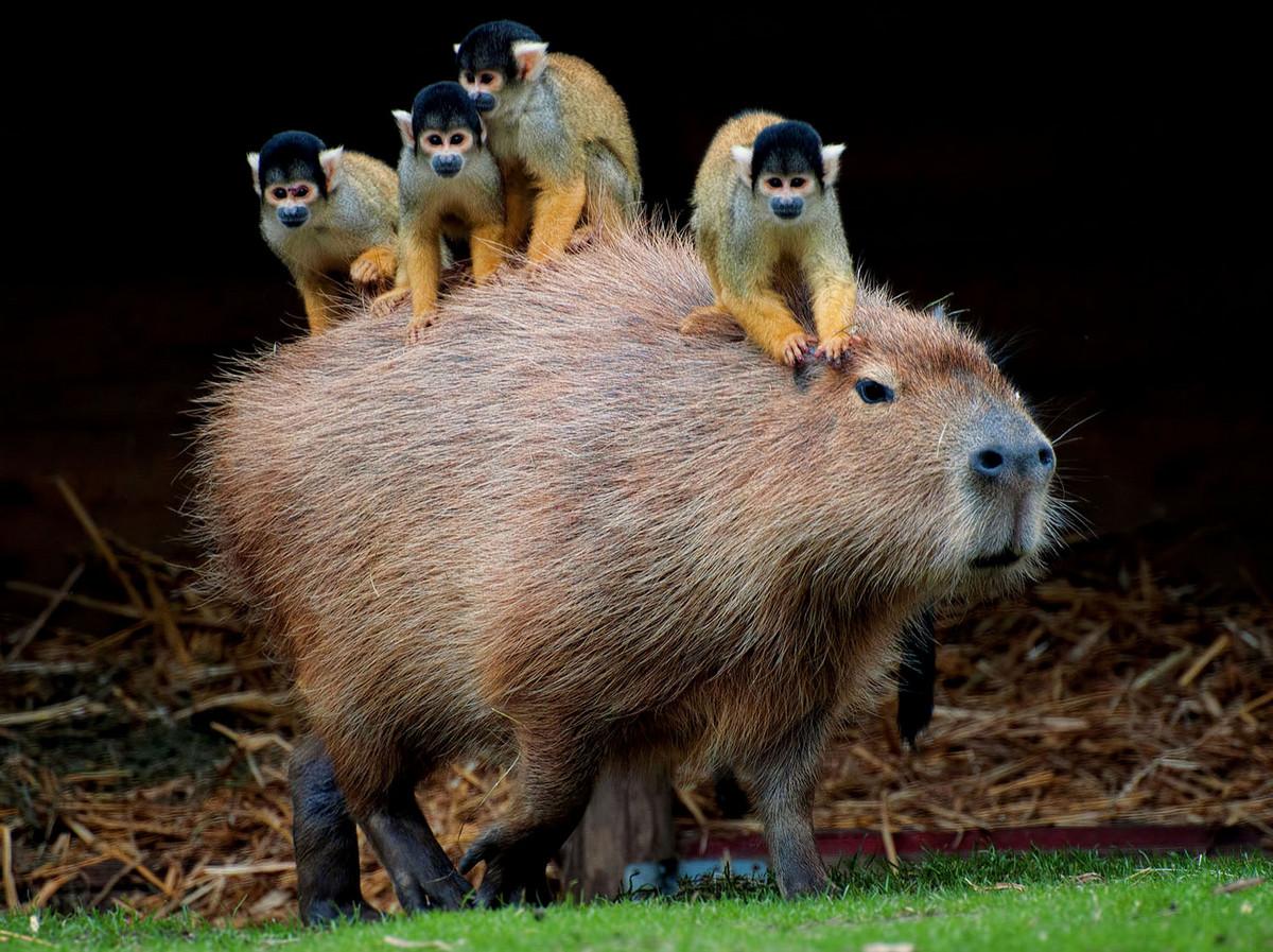 Капибара - Животное, с которым все хотят дружить 2