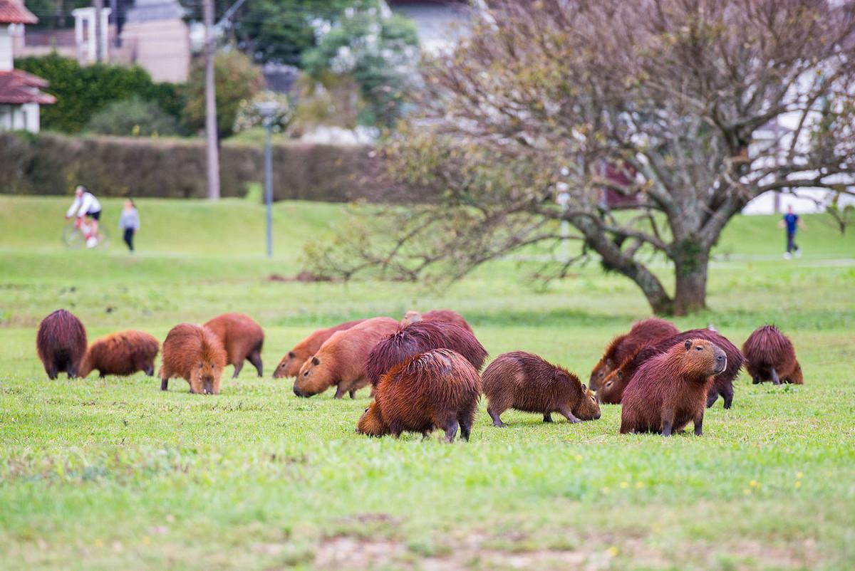 Капибара - Животное, с которым все хотят дружить 7